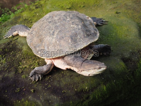 toad headed turtle