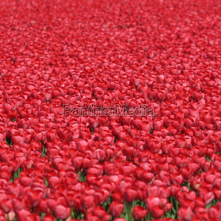 tulips floral background red in spring
