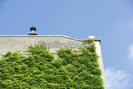 vine growing on side of building