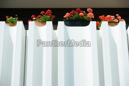 geraniums in window boxes