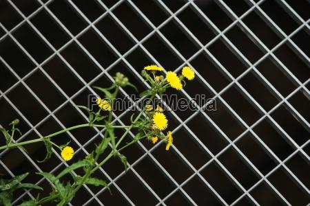 dandelions and metal grate