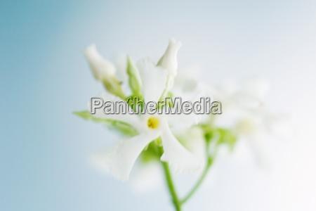 oleander close up
