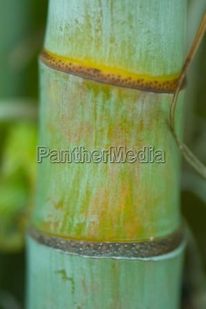 bamboo stalk close up