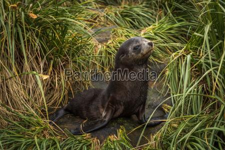 antarctic fur seal pup in tussock