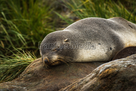 antarctic fur seal sleeping in tussock