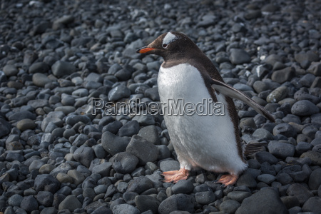 gentoo penguin walking along black rocky
