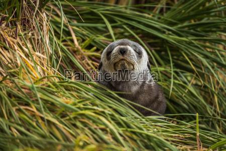 grey antarctic fur seal with eyes