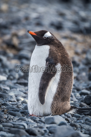 gentoo penguin standing on grey shingle