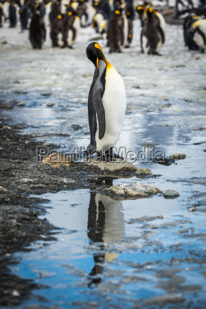 king penguin in rookery reflected in