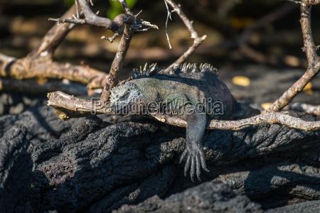 marine iguana dangling leg over dead