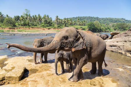 elephant family by the river