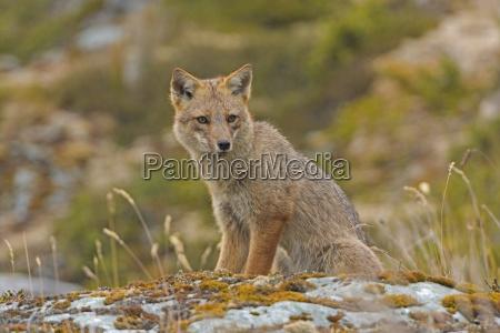 andean fox looking for prey