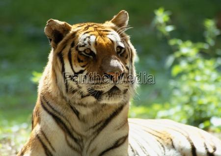 bengal tiger panthera tigris tigris lying