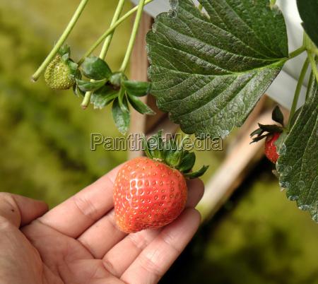 strawberry fruit of da lat dalat