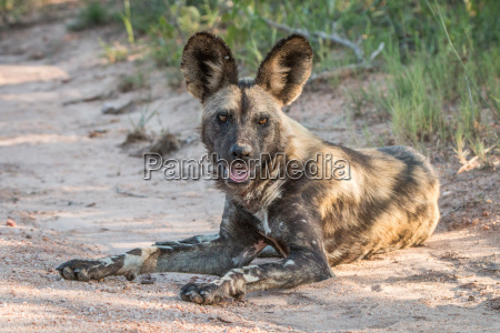 african wild dog laying on the