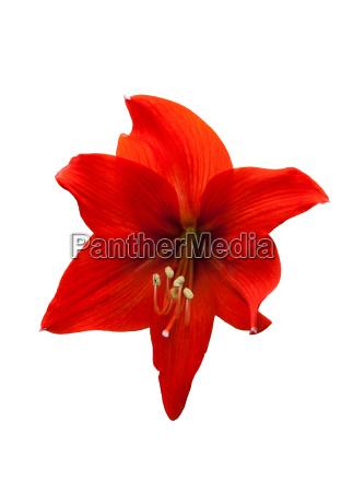amaryllis hippeastrum hybrid type pamela cut