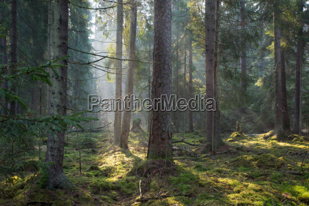 sunbeam entering the old coniferous stand