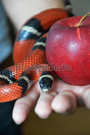snake crawling over an apple which