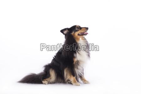 dog shetland sheepdog sitting isolated