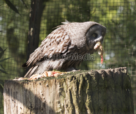 owl eating a chick