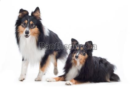 two shetland sheepdogs isolated