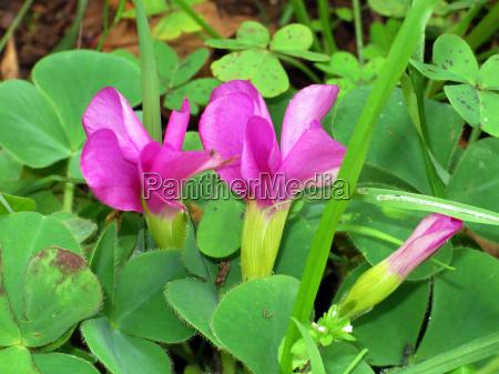 purple sorrel purple safflower oxalis purpurea
