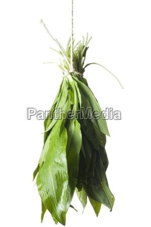 confederation of fresh wild garlic