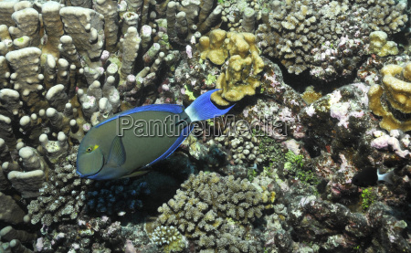 doctorfish in front of hard corals