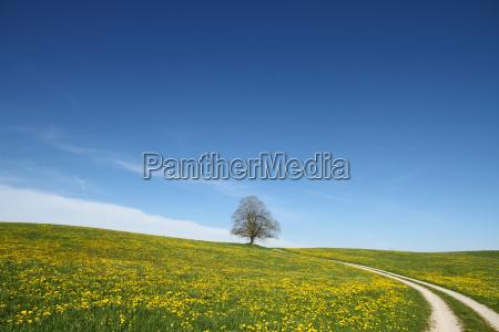dandelion blossom in the allgaeu