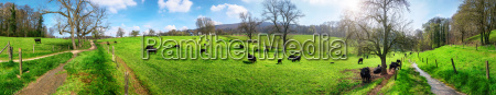 panorama with rural idyll cows grazing