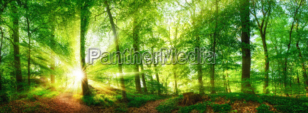 forest, panorama, with, sunbeams, shining, through - 16696090