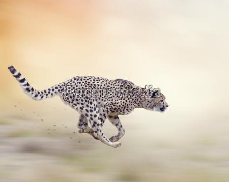 cheetah acinonyx jubatus running
