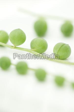 strand of beads plant senecio rowleyanus