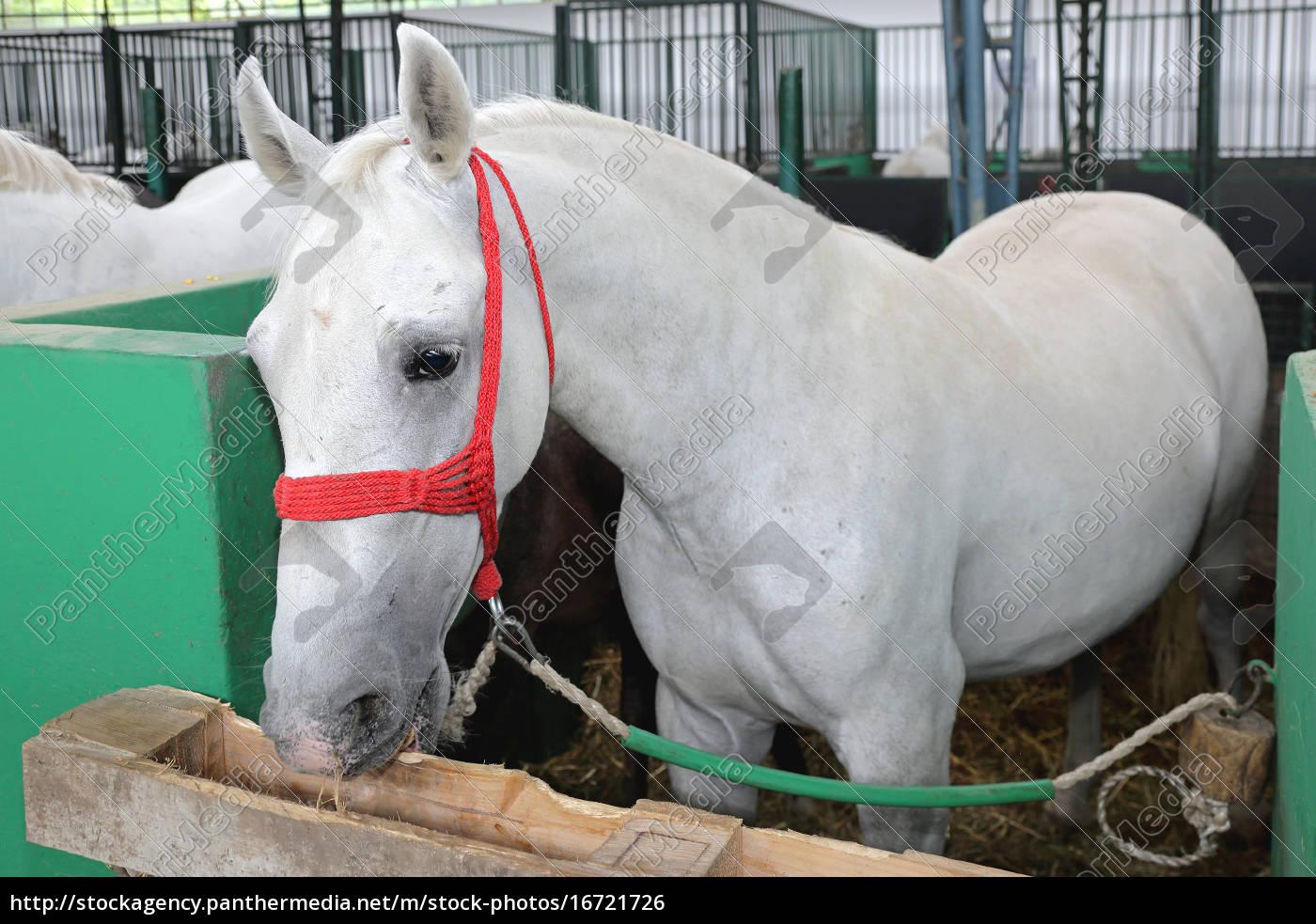 white, horse - 16721726