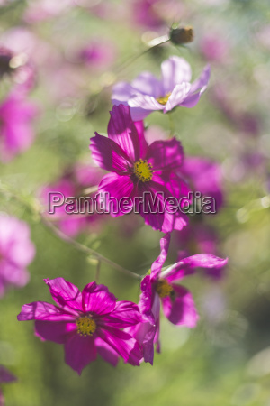 germany blossoms of mexican aster cosmos