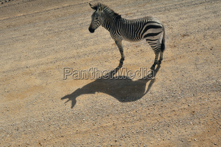 namibia solitaire plains zebra standing on