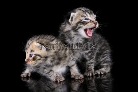 two tabby kittens felis silvestris catus