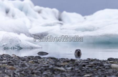 iceland jokurlsarlon glacier lake seal
