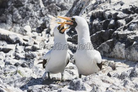 ecuador galapagos islands espanola punta suarez