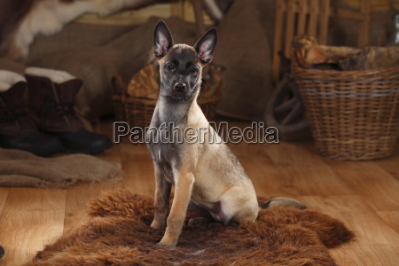 belgian malinois puppy sitting on fur