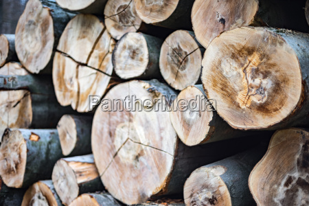 beech tree trunks wood harvesting