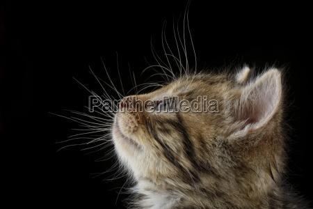 profile of tabby kitten felis silvestris