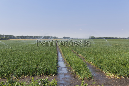 austria burgenland andau irrigated onion field