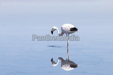 chile andean flamingo phoenicoparrus andinus mirroring