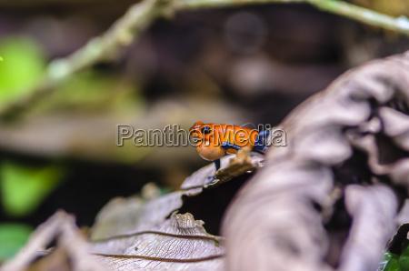 costa rica strawberry poison dart frog