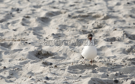 begging seagull on sandy beach