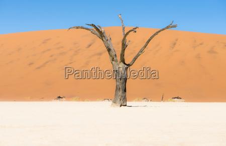 namibia namib desert dead tree in