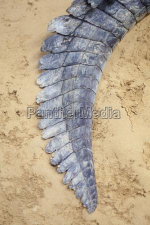 crocodile tail on sand