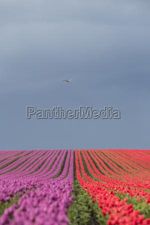 germany magdeburg boerde tulip fields