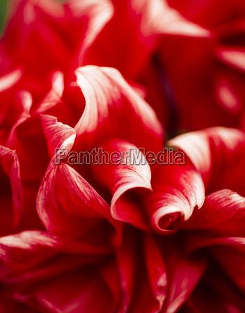 red white dahlia close up